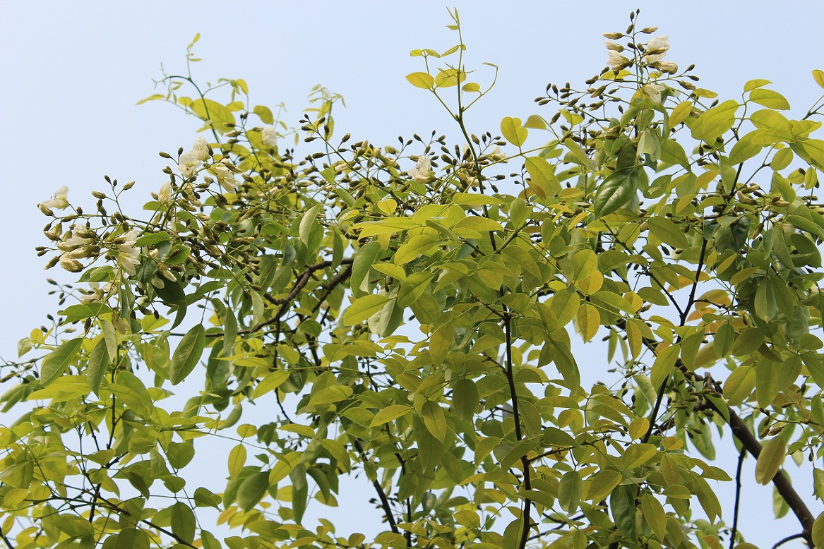 聚沙园内的红豆树